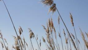 Einfl?sse des trockenen Grases im Park unter dem blauen Himmel stock footage