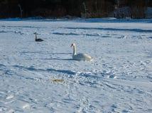 Einfrieren auf dem Eis der Riga-Buchtschwäne im Winter von 2018 stockbilder