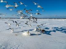 Einfrieren auf dem Eis der Riga-Buchtschwäne im Winter von 2018 stockbild
