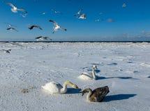 Einfrieren auf dem Eis der Riga-Buchtschwäne im Winter von 2018 lizenzfreies stockfoto