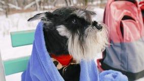 Eingefroren im Winter, wird Zwergschnauzer-Hund oder Zwergschnauzer mit einem Plaid bedeckt Zeitlupe, Slo-MO stock video