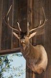 Eingehangener Hirsch-Kopf Stockfotos