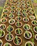 Eingemachte Baumschulen-Orchideen Lizenzfreie Stockfotos