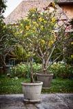 Eingemachte dekorative Bäume mit den gelben und rosa Blumen in einem Garten Lizenzfreie Stockfotos