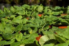 Eingemachte Grünpflanzen Stockbild