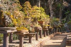 Eingemachte Kiefer für Gartendekoration, Landschaftsgestaltungsschönheit des Gartens Stockbild