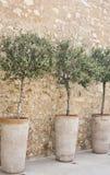 Eingemachte Oliven in einer Reihe. Stockfotos