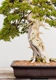 Eingemachter Bonsai-Baum Lizenzfreie Stockfotografie