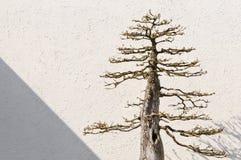 Eingemachter Bonsai-Baum Stockfoto