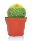 Eingemachter grüner Kaktus Stockfoto