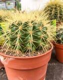 Eingemachter Kaktus Stockfotografie