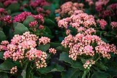 Eingemachtes dekoratives saftiges Kalanchoe-blossfeldiana in den verschiedenen Farben lizenzfreie stockfotografie