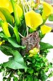 Eingemachtes gelbes Callalilie Zantedeschia aethiopica Lizenzfreie Stockfotografie