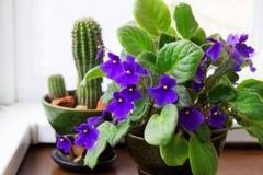 Eingemachtes Usambaraveilchen und Kaktus Lizenzfreie Stockfotografie