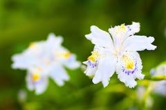 Eingesäumte Blendenblumen Stockfotografie