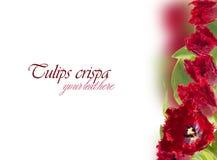 Eingesäumte Collage der Tulpen (crispa) Stockbild
