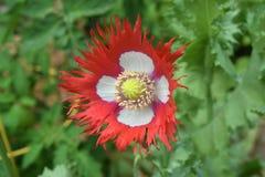 Eingesäumte Mohnblumenblume Stockfotos