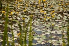 Eingesäumte WasserSeerose auf einer Sumpfoberfläche Lizenzfreie Stockfotografie
