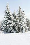 Eingeschneite Tannenbäume im Bereich über Lattea, Italien Lizenzfreies Stockfoto