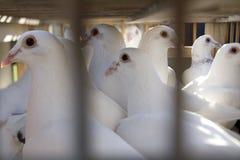 Eingesperrte Tauben Stockfotos