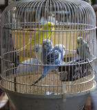 Eingesperrte Vögel Stockfotos