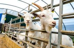 Eingesperrte Ziegen in der Bauernhof-Besucher-Mitte Stockfoto