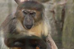 Eingesperrter Affe Stockfotografie