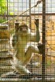 Eingesperrter Affe mit dem traurigen Schauen Lizenzfreies Stockfoto