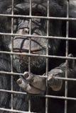 Eingesperrter Gorilla Lizenzfreie Stockbilder