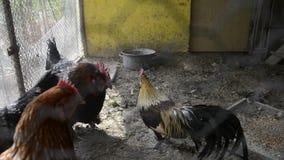 Eingesperrter Hahn und Hennen im Hühnerstall auf traditionellem ländlichem Hefeyard Goldener Phoenix-Hahn und -hühner, die in Hüh stock video