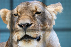 Eingesperrter Löwe Stockbild