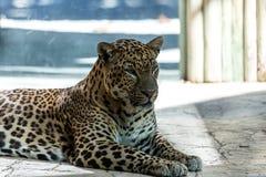 Eingesperrter Leopard Lizenzfreie Stockbilder