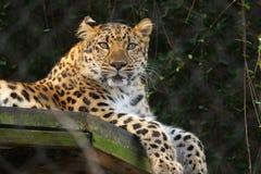 Eingesperrter Leopard stockbild
