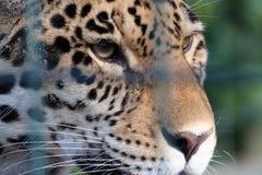 Eingesperrter Leopard, der traurig schaut stockfoto