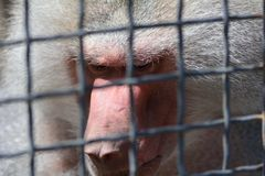 Eingesperrter männlicher Pavian, der Blickkontakt vermeidet Stockfotografie