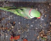 Eingesperrter Papagei Lizenzfreie Stockbilder