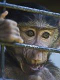 Eingesperrter Schätzchenpavian Lizenzfreies Stockfoto