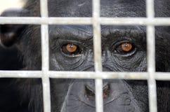 Eingesperrter Schimpanse Stockbild