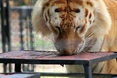 Eingesperrter Tiger, der von der Tabelle isst Stockfotografie