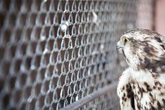 Eingesperrter wilder Adler in einem Zoo - Gefangenschaftskonzept der wild lebenden Tiere Stockbild