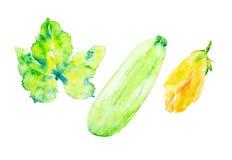 Eingestellt von der Zucchini, vom Blatt und von der Blume der Zucchini Aquarellillustration lokalisiert auf wei?em Hintergrund stockbilder