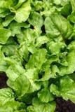 Einheimischer organischer italienischer Regenbogen Beetroot Barbabietola di Chioggia im Gemüsegemüsegarten lizenzfreie stockfotografie