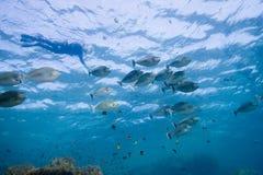 Einhorn Fische und snorkeler Lizenzfreie Stockfotos