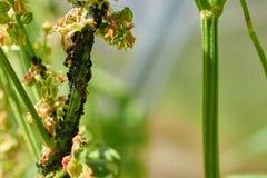 Einige Ameisen, die Blattläuse auf einem Stammsauerampfer melken Lizenzfreies Stockbild