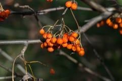 Einige Beeren der Eberesche Lizenzfreie Stockfotografie