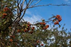 Einige Beeren der Eberesche Stockbild