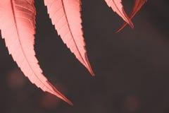 Einige Blätter im Licht der Glättung der Sonne in der Farbe der Lebenkoralle lizenzfreies stockbild