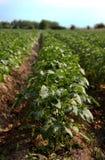 Einige blühende Kartoffeln stockfotografie