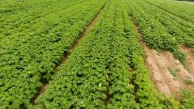 Einige blühende Kartoffeln stock footage