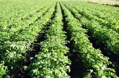 Einige blühende Kartoffeln Lizenzfreie Stockbilder